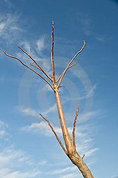 Dry Tree Royalty Free Stock Photo - Image: 23200315