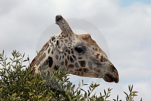 A Giraffe In A Bush Royalty Free Stock Photography - Image: 23201797