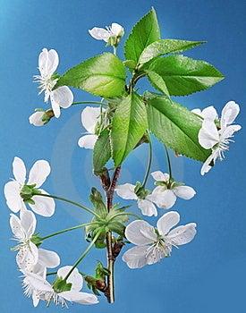 Three Cherry Flowers Royalty Free Stock Image - Image: 23215776