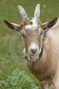 Portrait Of A Goat. Royalty Free Stock Image - Image: 23235816
