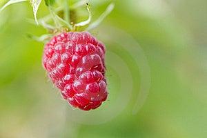 Red Raspberry Royalty Free Stock Photos - Image: 23236218