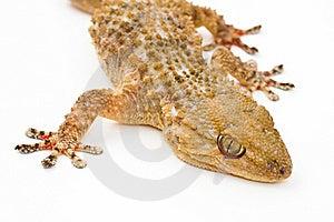 Gecko Stock Photography - Image: 23246462