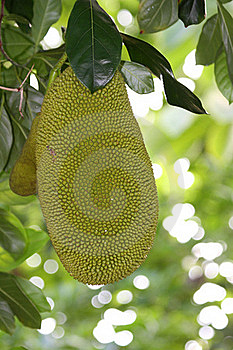 Jack Fruit Royalty Free Stock Photo - Image: 23246555