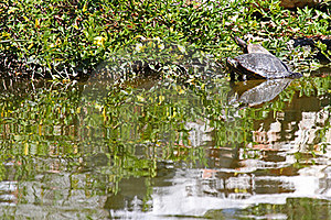 Turtle Royalty Free Stock Photo - Image: 23246705