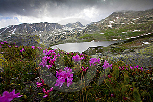 Rhododendron Flowers In High Mountains Stock Images - Image: 23252264