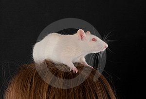 White Domestic Rat Royalty Free Stock Photos - Image: 23263488