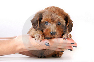 Small Red Puppy On Hands Stock Images - Image: 23264964