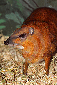 Chevrotain Stock Images - Image: 23265944