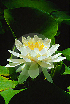 Sunlight On White Water Lily (Nymphaeaceae Alba) Stock Photo - Image: 23272310