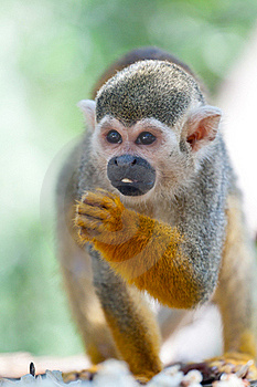 Squirrel Monkey Royalty Free Stock Image - Image: 23289496