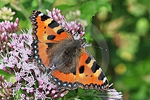 Aglais Urticae Royalty Free Stock Photography - Image: 23297997