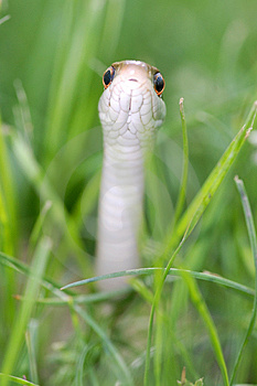 Snake Reptile Royalty Free Stock Photography - Image: 2334347