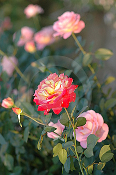 Rose Stock Images - Image: 2336544