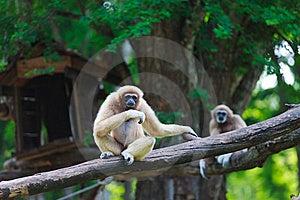 White Hand Gibbon Stock Photography - Image: 23310992