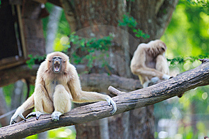 Gibbon Royalty Free Stock Photo - Image: 23311025