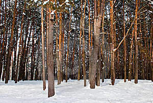 Tall Pine Forest Stock Photos - Image: 23313743