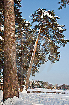 Trees In Winter Royalty Free Stock Image - Image: 23313796