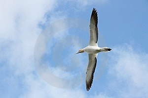 Gannet Flying Over Head Royalty Free Stock Images - Image: 23331069