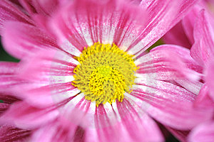 Pink Daisy In Garden Royalty Free Stock Image - Image: 23332176