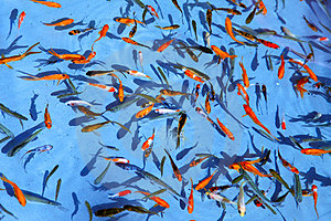 Ornamental Fish Stock Images - Image: 23350654