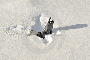 Dead Pigeon In Snow Royalty Free Stock Images - Image: 23360989
