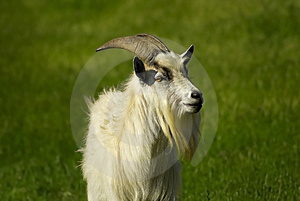 White Goat With Beard Royalty Free Stock Photos - Image: 2346138