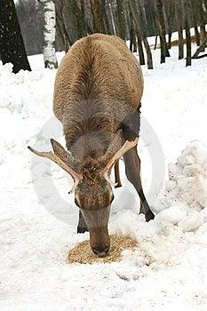 Deer Eating Grain Stock Photography - Image: 23414652