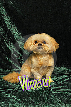 Shih Tzu And 'Whatever' Sign Royalty Free Stock Photos - Image: 23432638