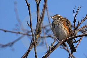 Redwing On Blue Sky Royalty Free Stock Images - Image: 23443369