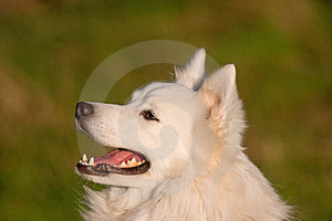 Japanese Spitz Portrait Royalty Free Stock Images - Image: 23447929