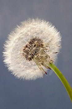 Dandelion Close Up On Blue Background Royalty Free Stock Image - Image: 23469396