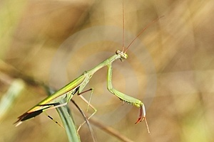 Mantis Religiosa Royalty Free Stock Photography - Image: 23483857