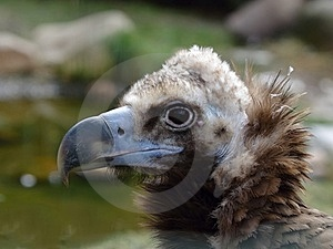 Head Of Cinereous Vulture Stock Photo - Image: 23486290