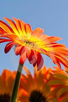 Vibrant Yellow And Orange Gerber Daisy Stock Photo - Image: 23486970