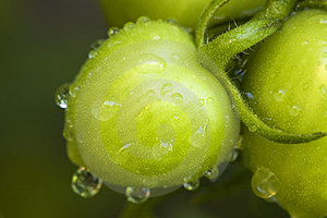 Green Tomato Stock Photos - Image: 23499763