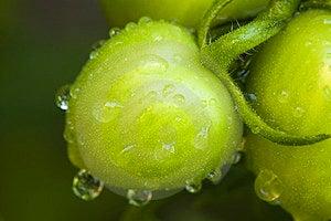 Green Tomato Stock Photos - Image: 23499763