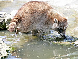 Racoon 3 Royalty Free Stock Image - Image: 2356386