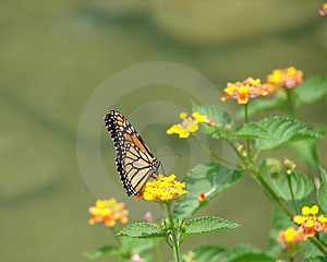 Monarch Butterfly Stock Images - Image: 2358874