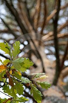 Autumn Oak Royalty Free Stock Images - Image: 23508999