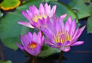Pink Lotus Stock Photography - Image: 23522892