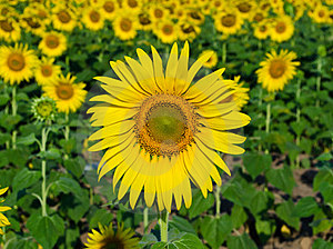 Sunflower Blooming Royalty Free Stock Photos - Image: 23529108
