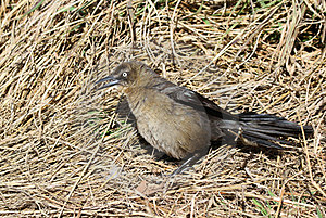 Grackle Stock Photo - Image: 23546000