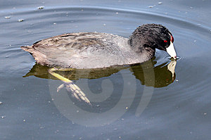 Coot Stock Photos - Image: 23546093