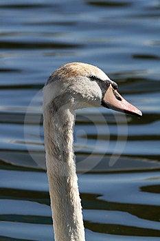 Swan Royalty Free Stock Photo - Image: 23546115