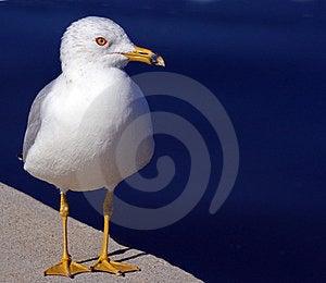 Sea Gull Royalty Free Stock Photography - Image: 23546347