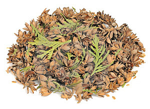 Thuja Cones, Seeds And Leaves Royalty Free Stock Photos - Image: 23549858