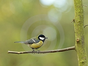 Great Tit Stock Images - Image: 23554294
