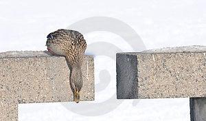 Stockenten-Ente, Die Unten Schaut Lizenzfreie Stockfotografie - Bild: 23556197