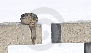 Canard De Colvert Regardant Vers Le Bas Photographie stock libre de droits - Image: 23556197