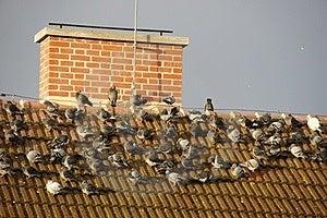 Flock Of Pigeons Stock Photos - Image: 23556833